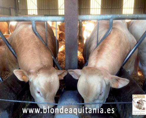 blonde-aquitania-engorde-terneros-5