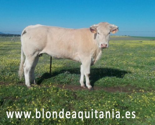 blonde-aquitania-imagen-bovinux